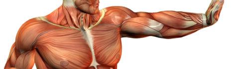 Definición y tipos de fibras musculares